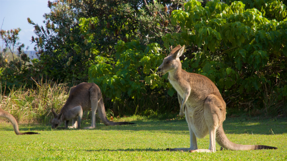 brisbane kangaroo sanctuary