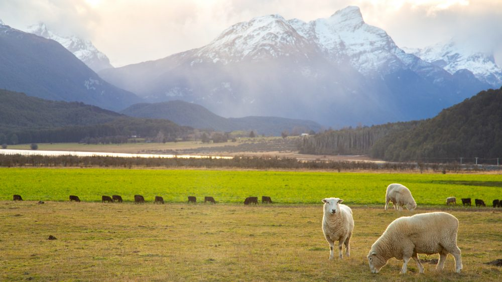 Grazing sheep and mountains in Glenorchy