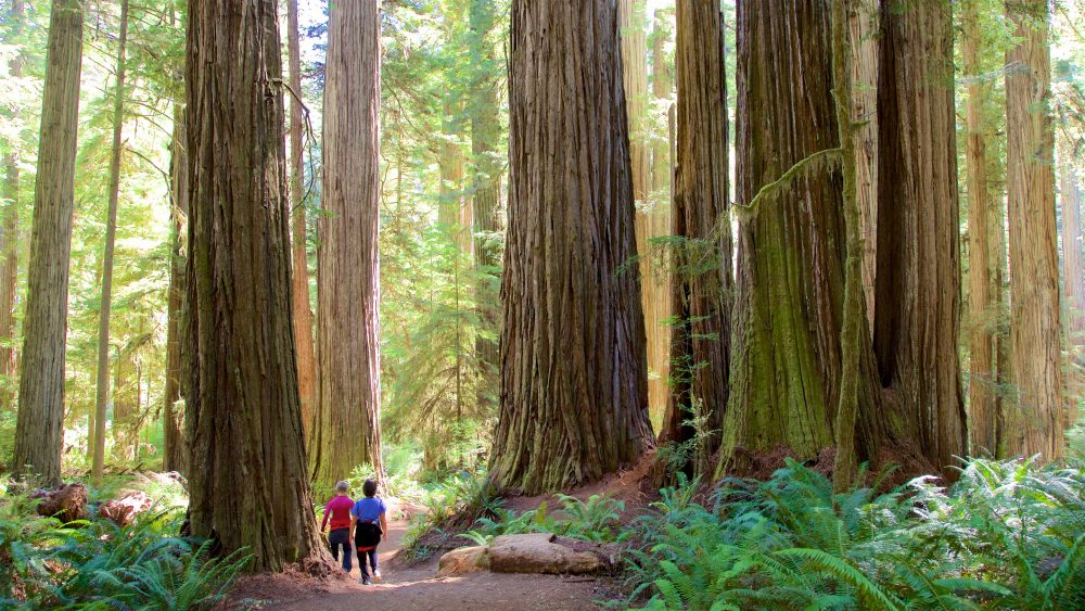 People walking in Redwood National Park