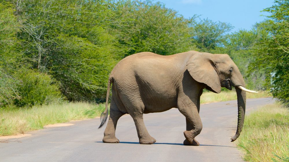 Elephant in Kruger National Park in South Africa